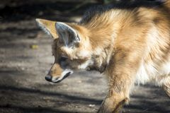 Chrysocyon或鬃狼画象 免版税图库摄影