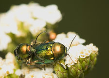 Chrysolina Stock Photography