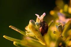 Chrysolina americana fotografie stock libere da diritti