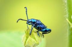 Chrysolina coerulans beetle Royalty Free Stock Photos