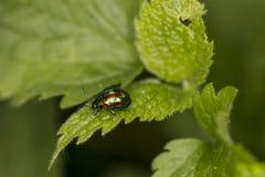 Chrysolina fastuosa,五颜六色的甲虫在一片绿色叶子漫步 库存照片