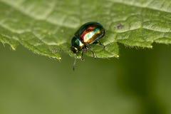 Chrysolina fastuosa,五颜六色的甲虫在一片绿色叶子,分类漫步 免版税库存图片