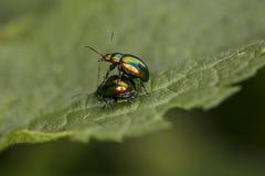 Chrysolina fastuosa,五颜六色的甲虫在怀里再生产  免版税库存照片