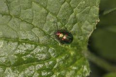 Chrysolina fastuosa,五颜六色的甲虫,令人惊讶的颜色,去throu 免版税库存图片