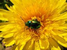 Chrysolina fastuosa 在花的甲虫 图库摄影