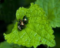 Chrysolina fastuosa Stock Photo
