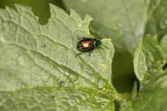 Chrysolina fastuosa, colorful beetle wanders on a green leaf, vi stock image