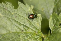 Chrysolina fastuosa, kolorowa ściga wędruje na zielonym liściu, vi obraz stock