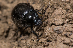 Chrysolina oricalcia leaf beetle Stock Images