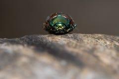 Chrysolina polita leaf beetle head on Stock Images