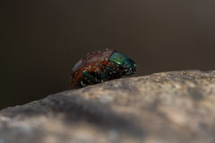 Chrysolina polita leaf beetle profile Royalty Free Stock Photos