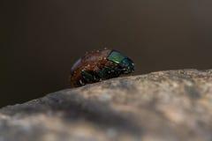 Chrysolina polita leaf beetle profile Royalty Free Stock Photos