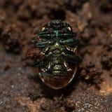 Chrysolina polita leaf beetle underside Stock Images