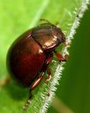 Chrysolina staphylaea leaf beetle Stock Photography