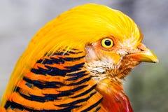 Chrysolophus Pictus Pheasant Royalty Free Stock Photo