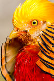 Chrysolophus Pictus Vertical. Headshot Of A Colorful Pheasant Royalty Free Stock Photo