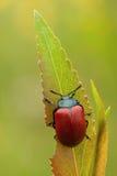 Chrysomela populi甲虫 免版税图库摄影