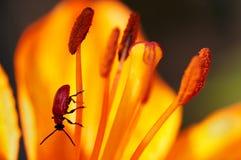 Chrysomelid auf der Lilie Lizenzfreies Stockfoto