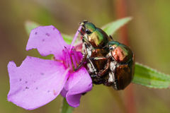 Chrysomelid beetle Royalty Free Stock Photography