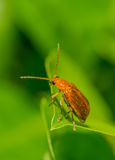 Chrysomelid beetle. On a green leaf Royalty Free Stock Photos