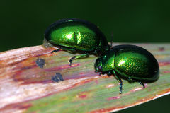 Chrysomelidae Stock Images