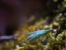 Chrysopa, género de la macro de los lacewings verdes imágenes de archivo libres de regalías