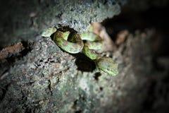 Chrysopelea ornata,snake green Royalty Free Stock Photography