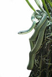 Chrysopelea ornata. On white background Royalty Free Stock Images