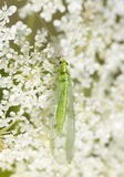 Chrysoperla carnea - the common green lacewing Stock Images