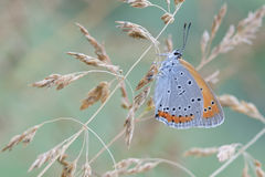 Chrysophanus dispar rutilus butterfly Stock Photography
