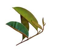 Chrysophyllum cainito Leaf Stock Photo