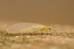 Chrysopidae Imagens de Stock