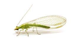 Chrysopidae-insetto Lacewing verde isolato Fotografie Stock Libere da Diritti