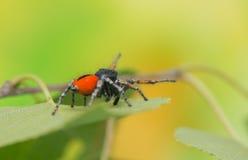 Chrysops de Philaeus - araignée sautante image stock