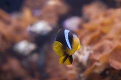 Chrysopterus del Amphiprion di Clownfish della banda blu Immagine Stock