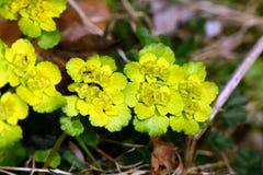 Chrysosplenium alternifolium Stockbild