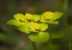 Chrysosplenium alternifolium Stock Photos