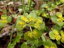 Chrysosplenium alternifolium Stockfoto