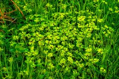 Chrysosplenium alternifolium vegetation. Dense vegetation of yellow-green Chrysosplenium alternifolium. These tiny plants loves wet places and their incidence Royalty Free Stock Images