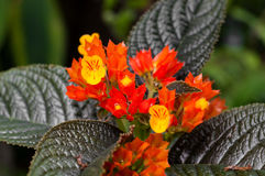 Chrysothemis pulchella Blume Stockfotografie