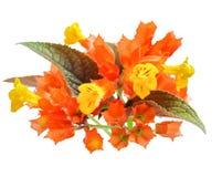 Chrysothemis-pulchella Blumen lokalisiert auf weißem Hintergrund Stockfotos