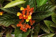 Chrysothemis pulchella Decne,Gesneriaceae Stock Images