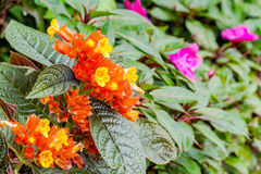 Chrysothemis pulchella (donn ex sims) decne. flower Royalty Free Stock Photos