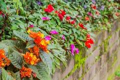 Chrysothemis pulchella (donn ex sims) decne. flower Royalty Free Stock Photography