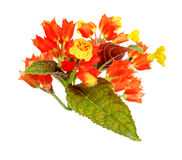 Chrysothemis pulchella flowers isolated on white background Stock Images