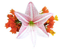 Chrysothemis Pulchella and Hippeastrum Johnsonii isolated on white background Royalty Free Stock Images