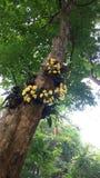 Chrysotoxum del Dendrobium Foto de archivo libre de regalías