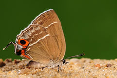 Chrysozephyrus zoa / butterfly on ground Royalty Free Stock Images