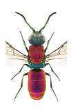 Chrysura laevigata Royalty Free Stock Photography