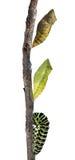 Chryzalida swallowtail fotografia stock
